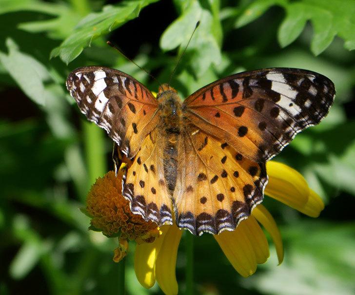 ツマグロヒョウモンがマーガレットコスモス(イエローエンジェル)の花に来た。2019年-5.jpg
