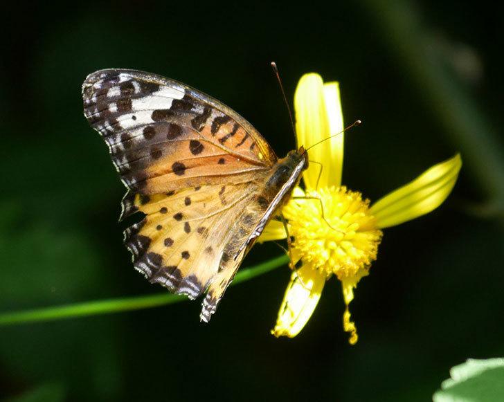 ツマグロヒョウモンがマーガレットコスモス(イエローエンジェル)の花に来た。2019年-6.jpg