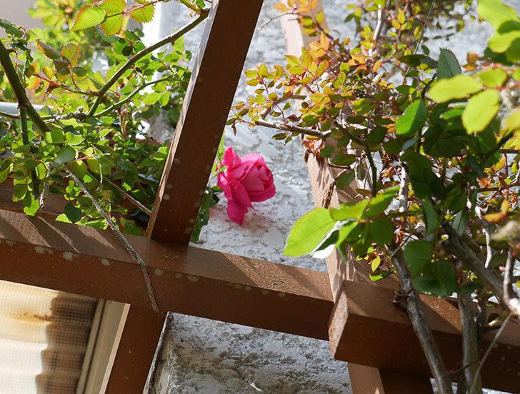 ツルうらら(ツルバラ)が咲いた。2019年-2.jpg