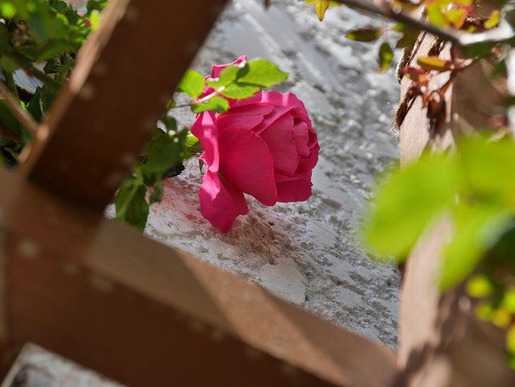 ツルうらら(ツルバラ)が咲いた。2019年-3.jpg