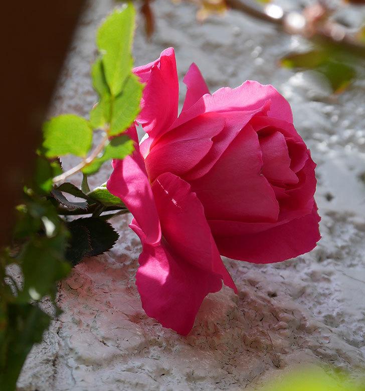 ツルうらら(ツルバラ)が咲いた。2019年-4.jpg