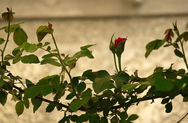 ツルうらら(ツルバラ)が咲きだした。2018年-11.jpg