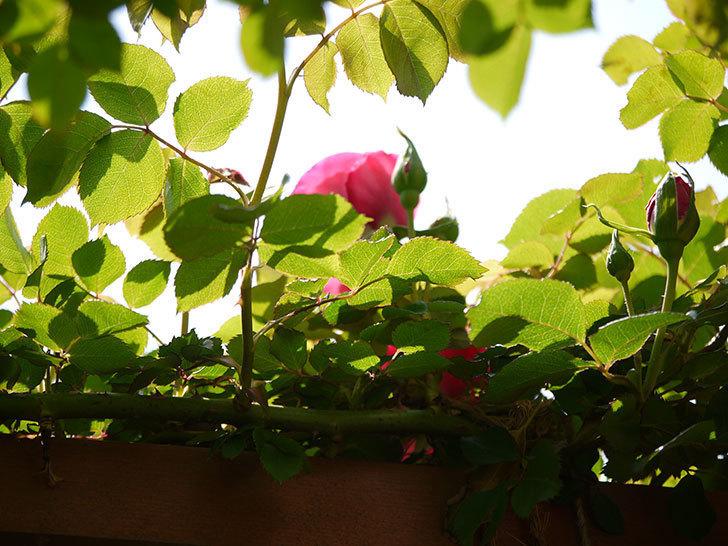 ツルうらら(ツルバラ)が咲きだした。2018年-13.jpg