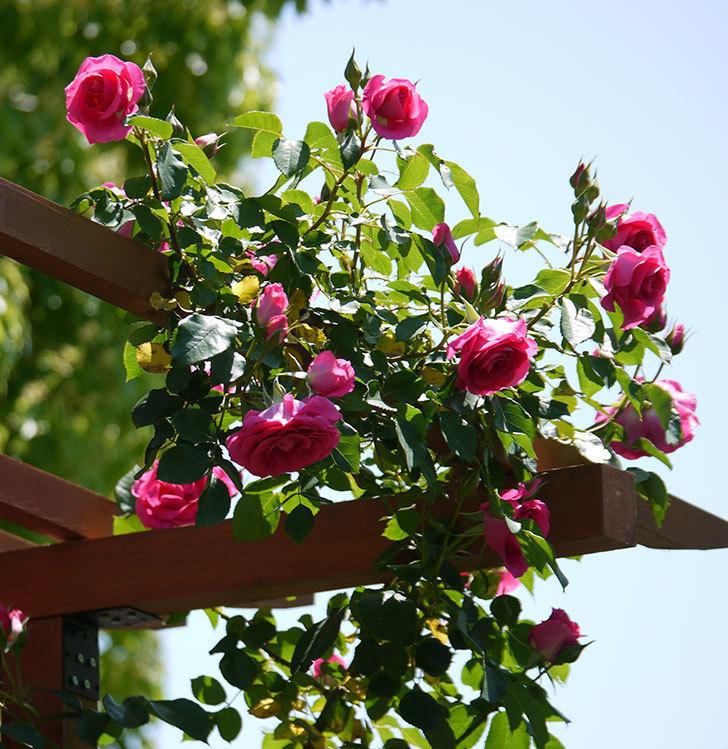 ツルうらら(ツルバラ)が大量に咲いた。2017年-1.jpg