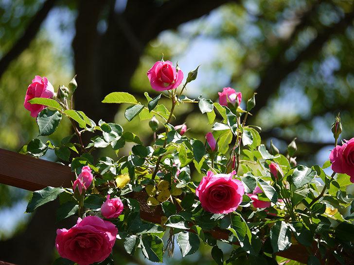 ツルうらら(ツルバラ)が大量に咲いた。2017年-10.jpg