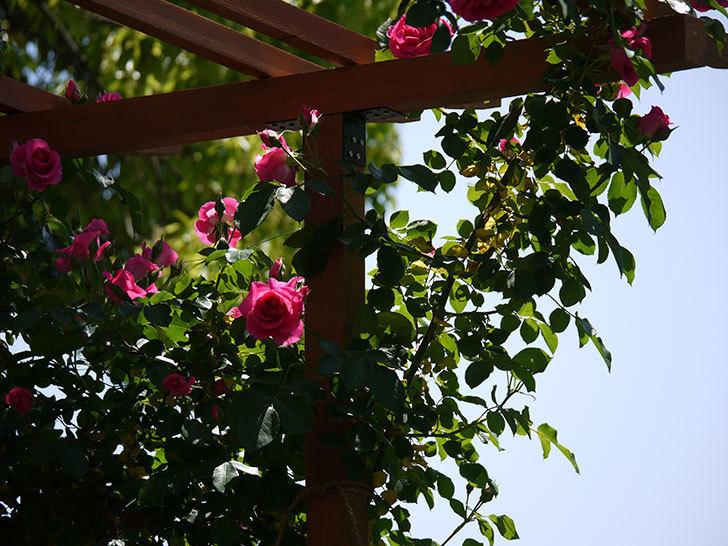 ツルうらら(ツルバラ)が大量に咲いた。2017年-2.jpg