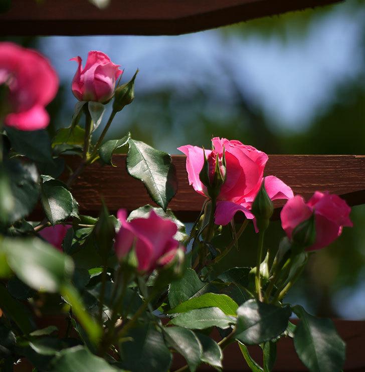 ツルうらら(ツルバラ)が大量に咲いた。2017年-20.jpg