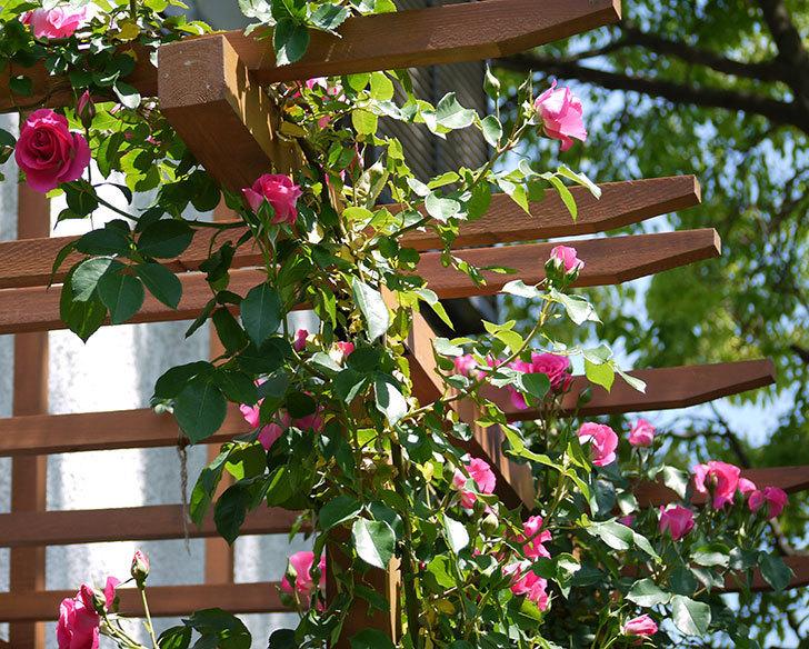 ツルうらら(ツルバラ)が大量に咲いた。2017年-21.jpg
