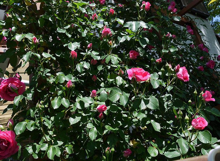 ツルうらら(ツルバラ)が大量に咲いた。2017年-26.jpg
