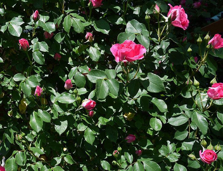 ツルうらら(ツルバラ)が大量に咲いた。2017年-27.jpg