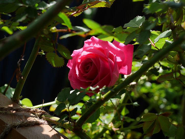 ツルうらら(ツルバラ)に2個目の花が咲いた。2020年-5.jpg