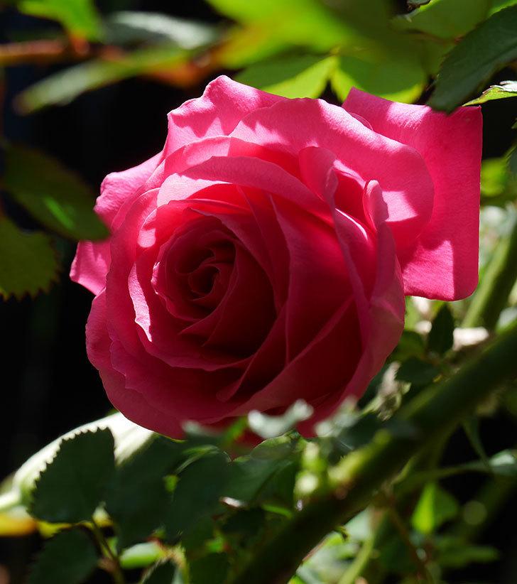 ツルうらら(ツルバラ)に2個目の花が咲いた。2020年-6.jpg