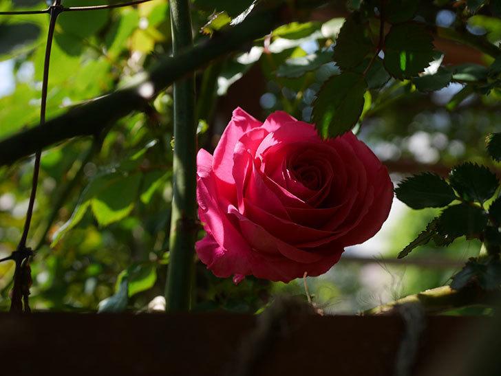 ツルうらら(ツルバラ)に2個目の花が咲いた。2020年-7.jpg