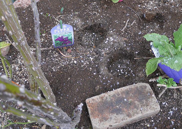 ツルうらら(ツルバラ)に寒肥を施した。2019年-3.jpg