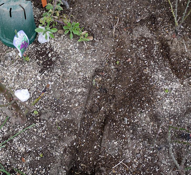 ツルうらら(ツルバラ)に穴を掘って寒肥をやった。2017年-2.jpg