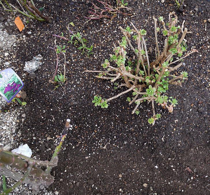 ツルうらら(ツルバラ)に穴を掘って寒肥をやった。2017年-8.jpg