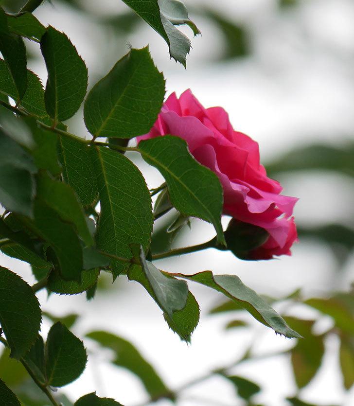 ツルうらら(ツルバラ)の2番花が咲いた。2019年-11.jpg