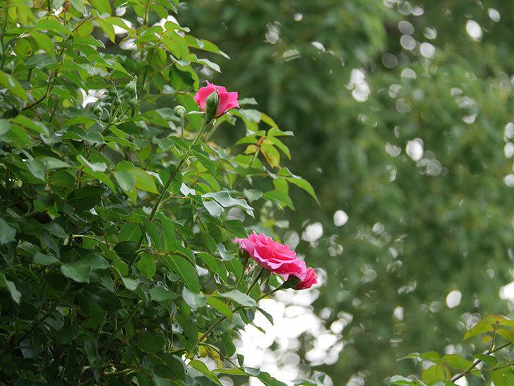 ツルうらら(ツルバラ)の2番花が咲いた。2019年-12.jpg