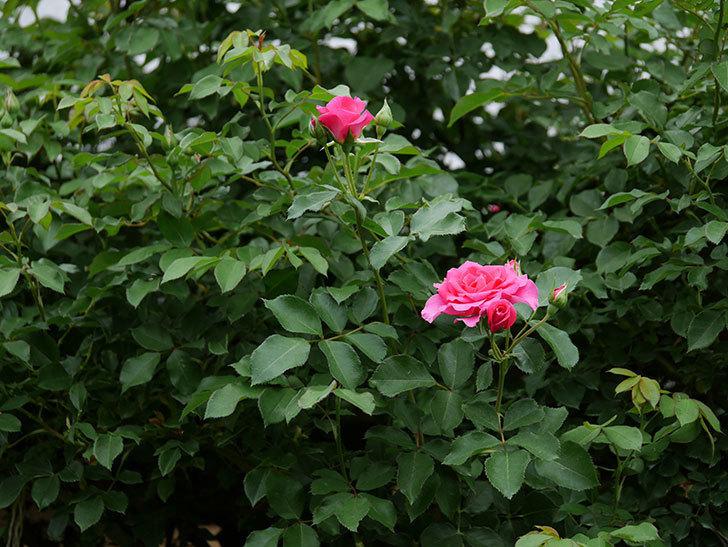 ツルうらら(ツルバラ)の2番花が咲いた。2019年-15.jpg