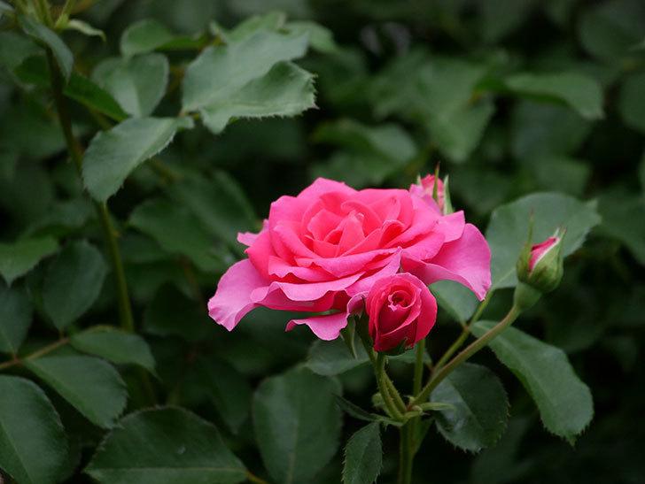 ツルうらら(ツルバラ)の2番花が咲いた。2019年-16.jpg