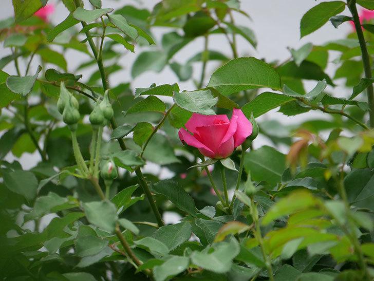 ツルうらら(ツルバラ)の2番花が咲いた。2019年-19.jpg