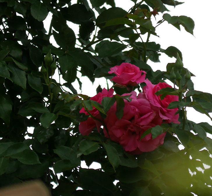 ツルうらら(ツルバラ)の2番花が咲いた。2019年-2.jpg