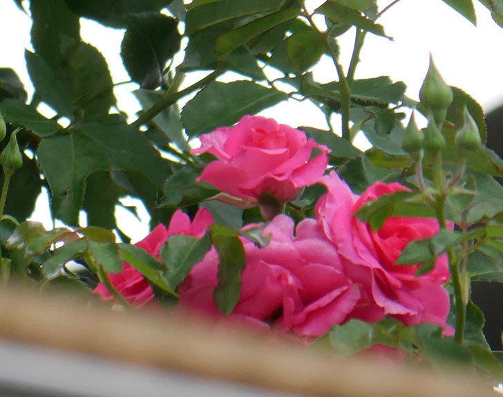 ツルうらら(ツルバラ)の2番花が咲いた。2019年-3.jpg