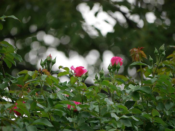ツルうらら(ツルバラ)の2番花が咲いた。2019年-5.jpg