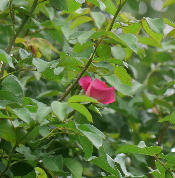 ツルうらら(ツルバラ)の2番花が咲いた。2019年-7.jpg