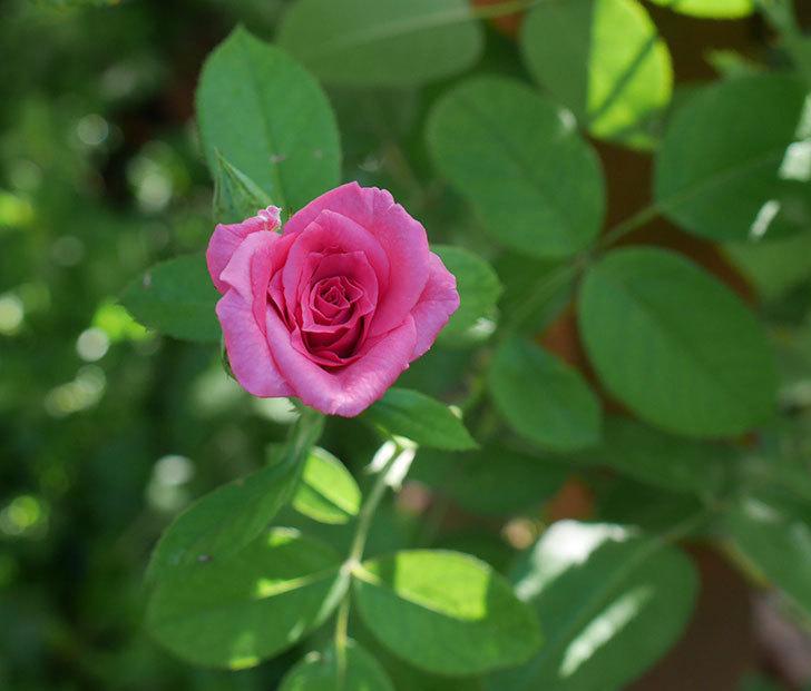ツルうらら(ツルバラ)の夏花が低い位置で咲いた。2018年-1.jpg