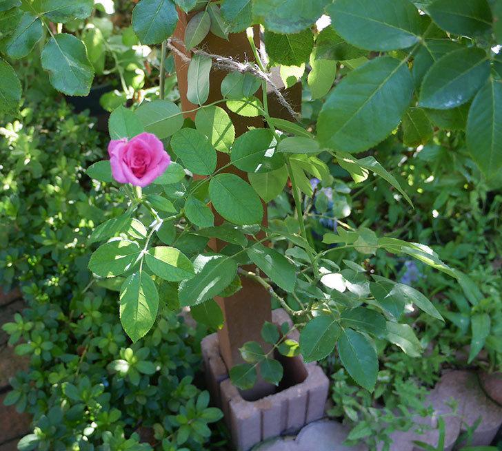 ツルうらら(ツルバラ)の夏花が低い位置で咲いた。2018年-3.jpg