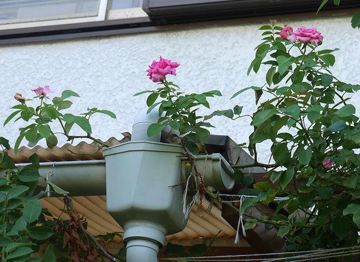 ツルうらら(ツルバラ)の夏花が低い位置で咲いた。2018年-5.jpg