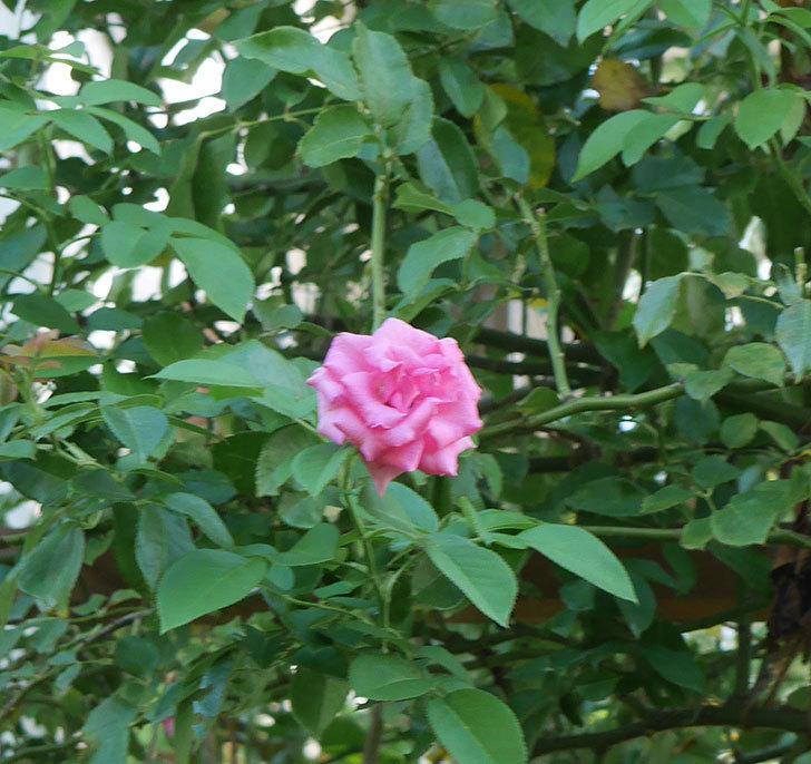ツルうらら(ツルバラ)の夏花が低い位置で咲いた。2018年-6.jpg