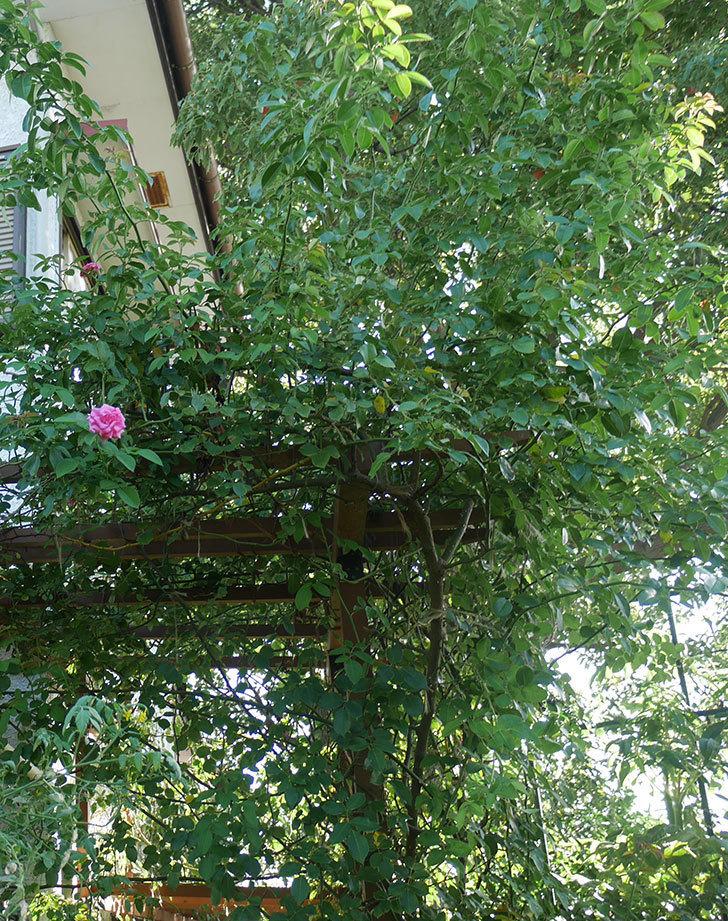 ツルうらら(ツルバラ)の夏花が低い位置で咲いた。2018年-7.jpg
