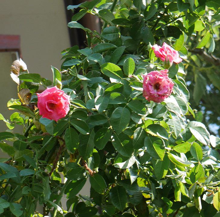 ツルうらら(ツルバラ)の夏花が咲いた。2019年-2.jpg