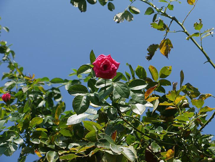ツルうらら(ツルバラ)の夏花が咲いた。2019年-5.jpg