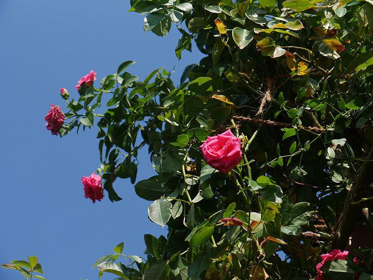 ツルうらら(ツルバラ)の夏花が咲いた。2019年-7.jpg