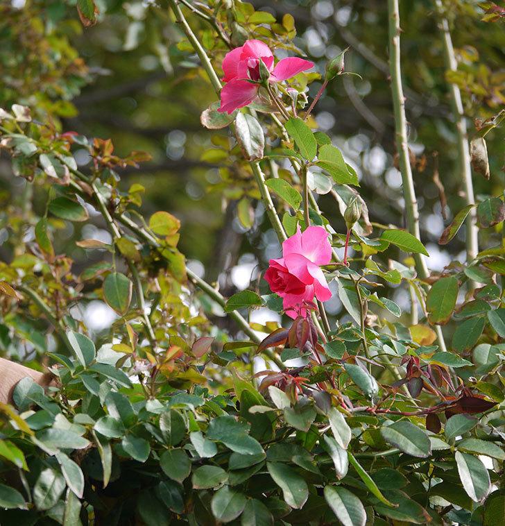 ツルうらら(ツルバラ)の秋花が咲いた。2017年-5.jpg