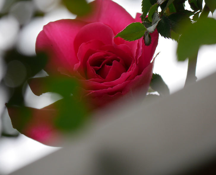 ツルうらら(ツルバラ)の花が1個咲いた。2020年-1.jpg