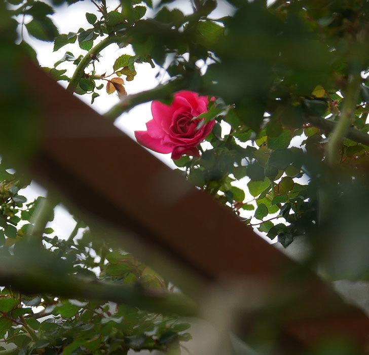 ツルうらら(ツルバラ)の花が1個咲いた。2020年-2.jpg