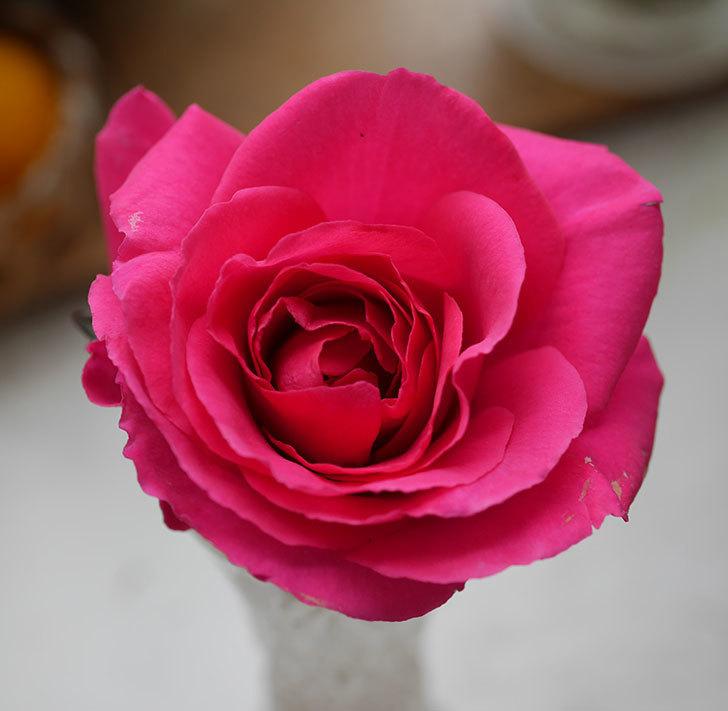 ツルうらら(ツルバラ)の花が1個咲いた。2020年-3.jpg