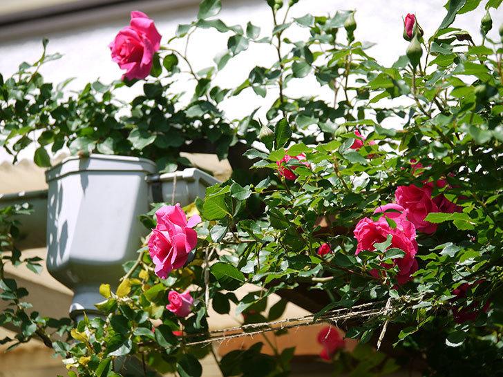 ツルうらら(ツルバラ)の花がたくさん咲いた。2018年-12.jpg