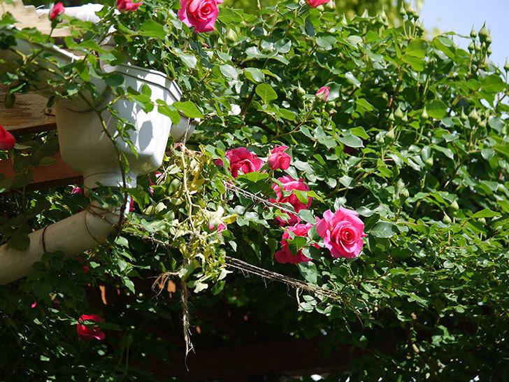 ツルうらら(ツルバラ)の花がたくさん咲いた。2018年-2.jpg