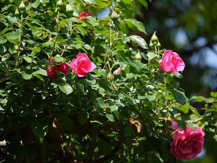 ツルうらら(ツルバラ)の花がたくさん咲いた。2018年-9.jpg