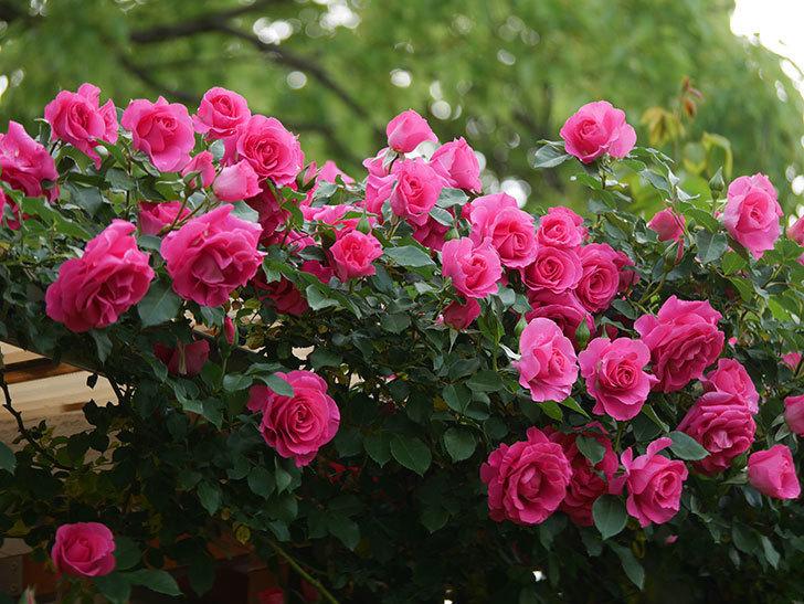 ツルうらら(ツルバラ)の花がたくさん咲いた。2020年-1.jpg