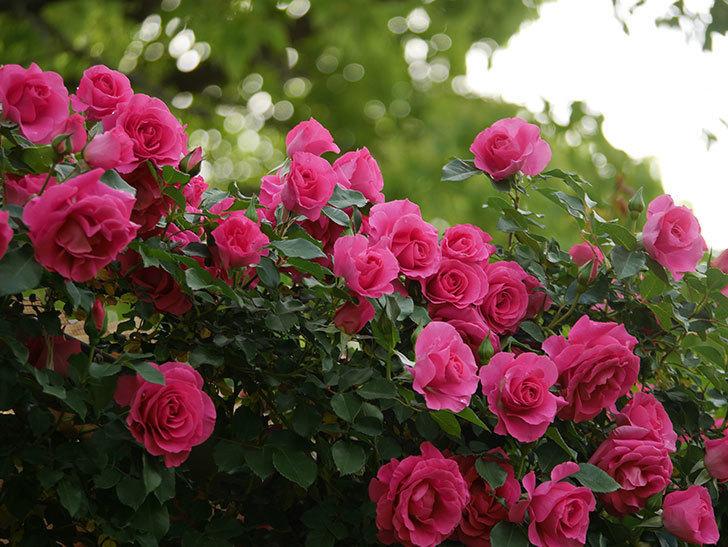 ツルうらら(ツルバラ)の花がたくさん咲いた。2020年-4.jpg