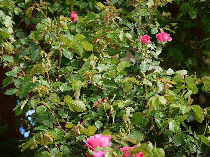 ツルうらら(ツルバラ)の花がぽつぽつと咲きだした。2018年-16.jpg
