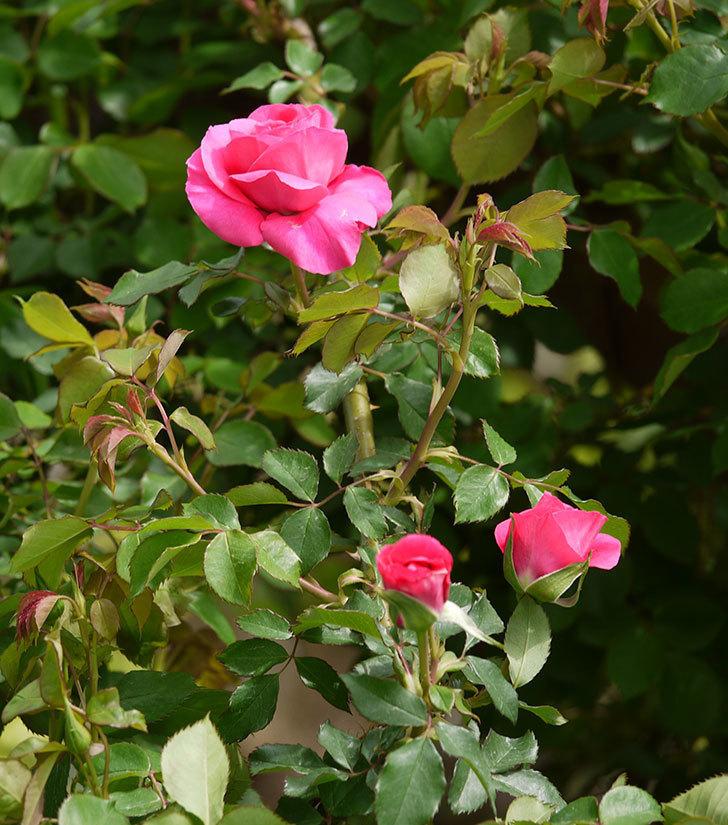ツルうらら(ツルバラ)の花がぽつぽつと咲きだした。2018年-18.jpg
