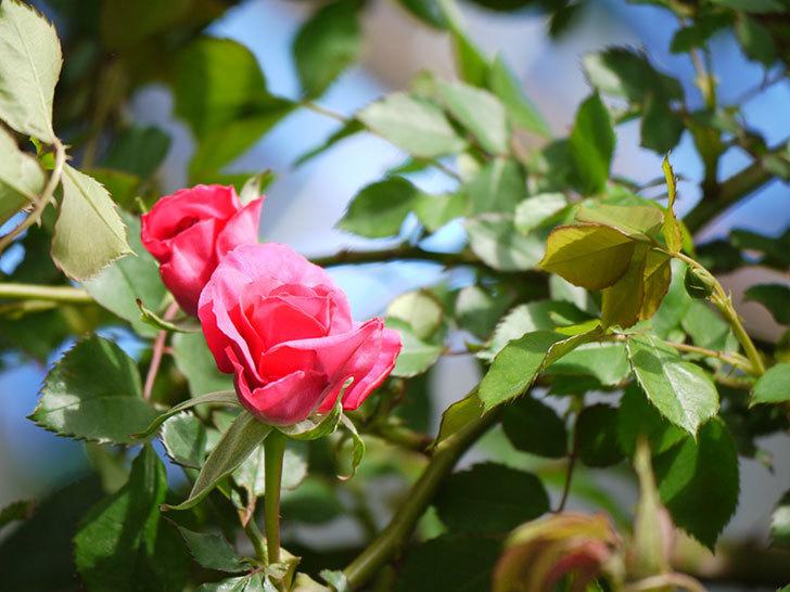 ツルうらら(ツルバラ)の花がぽつぽつと咲きだした。2018年-22.jpg