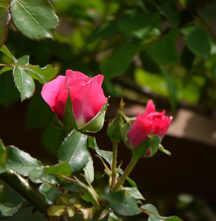 ツルうらら(ツルバラ)の花がぽつぽつと咲きだした。2018年-24.jpg